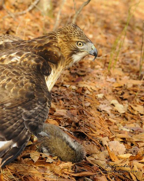 redtail hawk with kill3.JPG