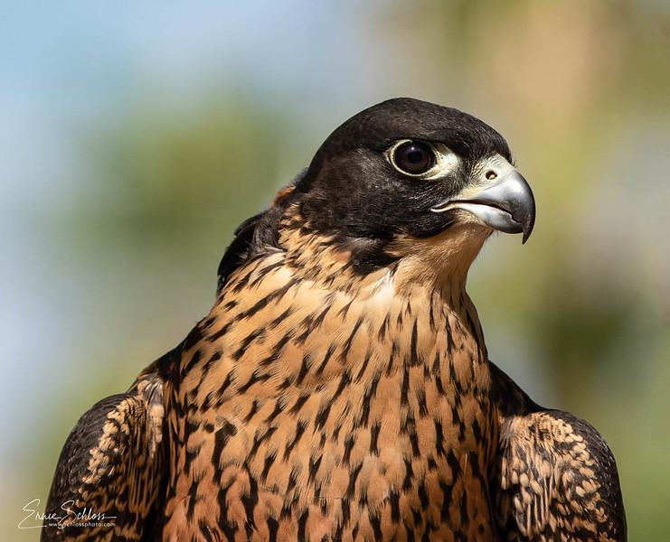Audubon 8-121-2918c-.jpg