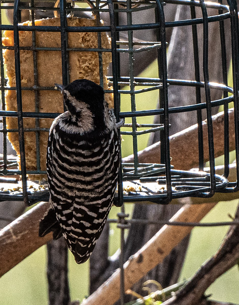 _5006220-2 Ladderback Woodpecker AZ.jpg