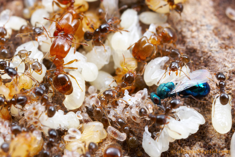 Eucharitid wasps (blue insect at right) are specialized parasites of ants. 