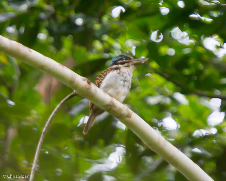 Hook-billed Kingfisher at Kwatu Lodge, Papua New Guinea (10-11-2013) 017-146.jpg
