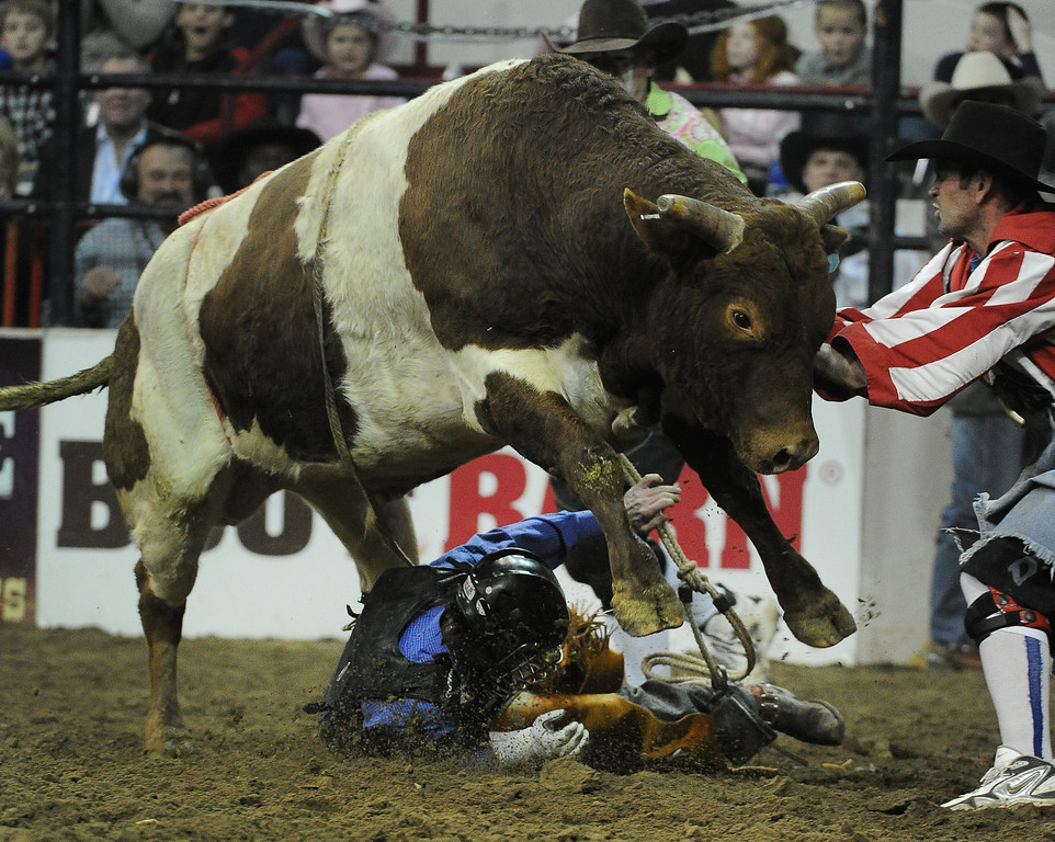 . DENVER, CO- JANUARY 27:  Trevor Kastner, of Ardmore, Oklahoma, tries to stay clear of the bull after falling off  during the Bull Riding competition of the Pro Rodeo.  The final day of the 2013 National Western Stock show was Sunday, January 27th.  One of the big events for the day was the PRCA Pro Rodeo finals in the Coliseum.  The event featured bareback riding, steer wrestling, team roping, saddle bronc riding, tie down roping, barrel racing and bull riding.  (Photo By Helen H. Richardson/ The Denver Post)