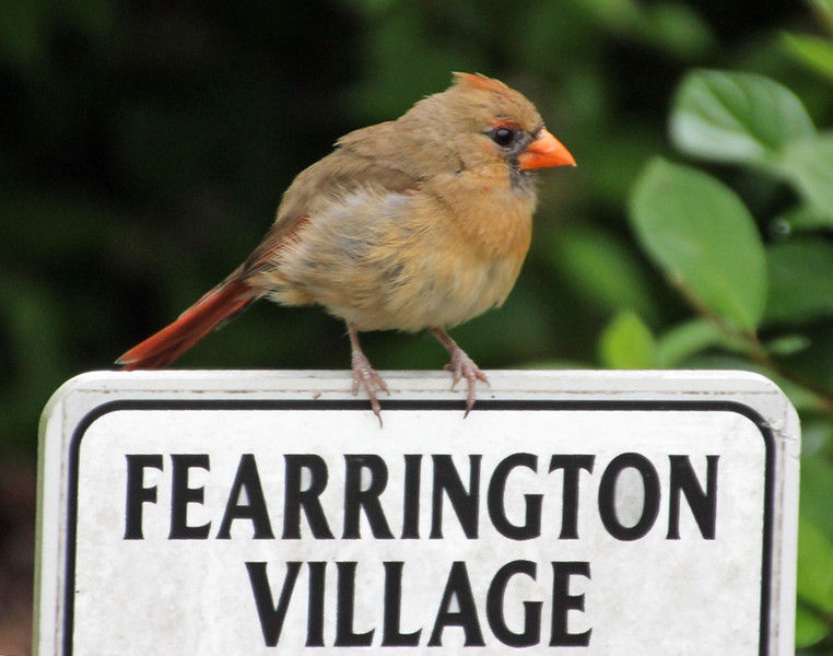 Cardinal on Village