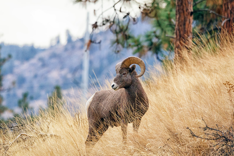 Ram on the hill