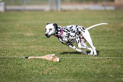 Dalmatian Lure Coursing - 17 Nov 2018