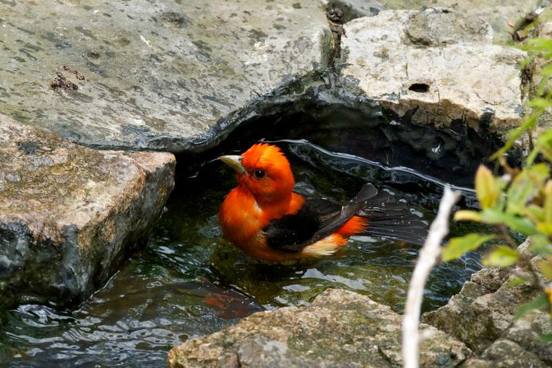 Scarlet Tanager-Male_5700 - Version 2.jpg