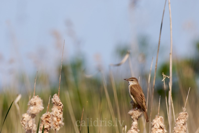 Great Reed Warbler sits perched on a reed in the lake Kaņieris