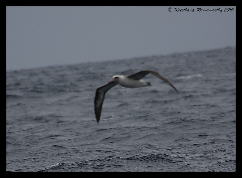 Laysan Albatross, Record Shot, Pelagic Trip Pacific Ocean, Islas Coronados, Mexico, March 2010