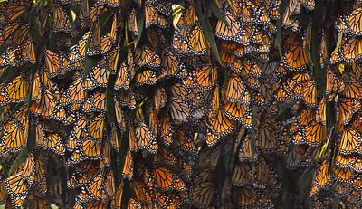 Monarch Groves, California