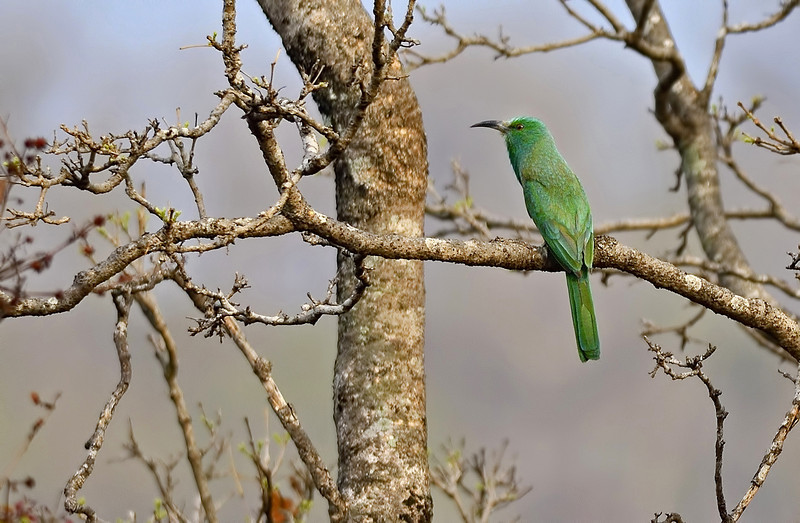 Blue-bearded-bee-eater-02 copy.jpg