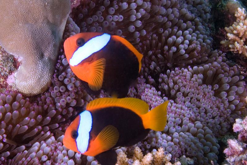 Clalrk's Anenome Fish.jpg