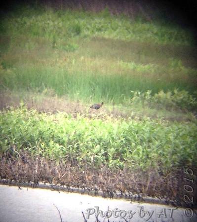 2015-06-01 Riverlands Migratory Bird Sanctuary