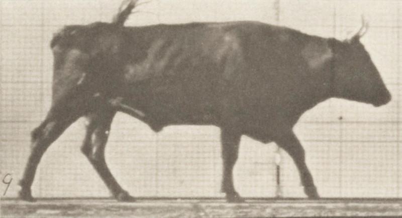 Ox walking
