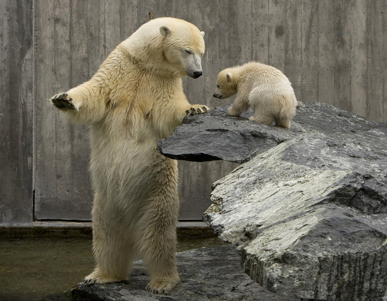 . Polar bear Corinna stands in front of her baby Wilbaer during his first outing at the Wilhelma zoo in Stuttgart, southern Germany.    (MICHAEL LATZ/AFP/Getty Images)