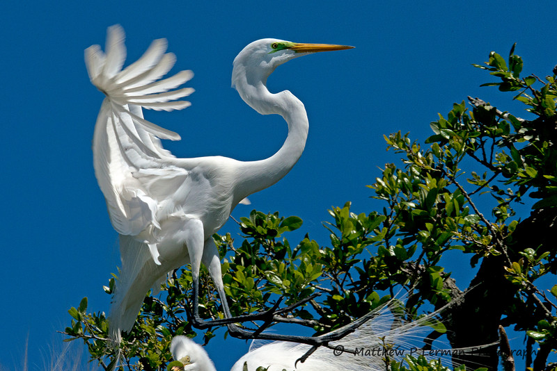 Great Egret   #918