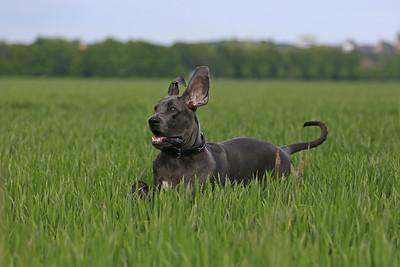 Deutsche Dogge Norbert