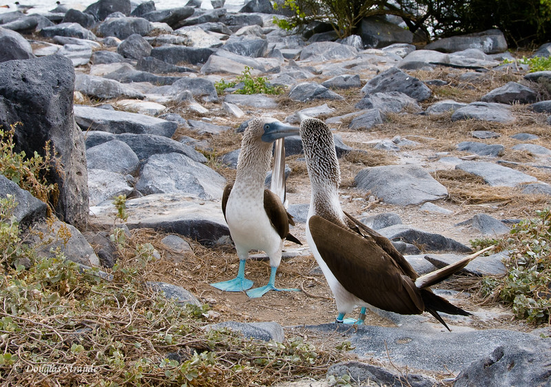 Courtship of Blue-Footed Boobies, Punta Suarez, Espanola Island