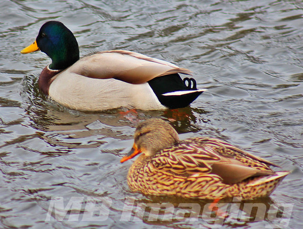 Ducks at Fabyan