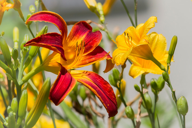 Day-lilies