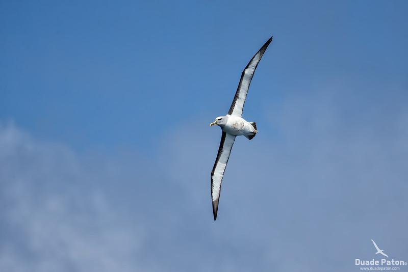 Bullers Albatross