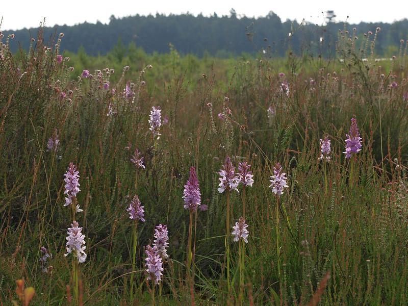 D. maculata var. ericetorum Holtveen DV 20-06-12 (7).jpg