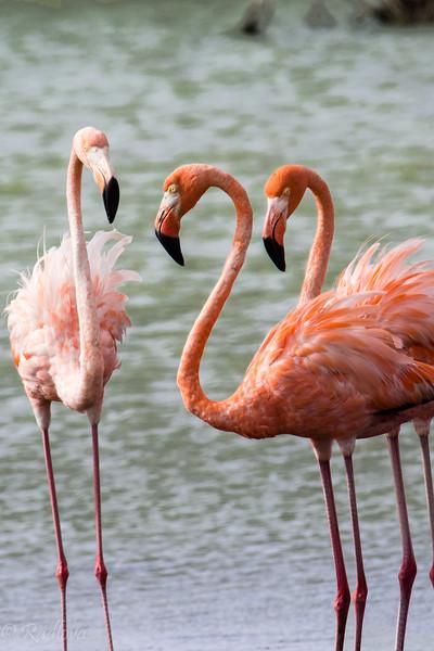 Flamingo threesome-.jpg