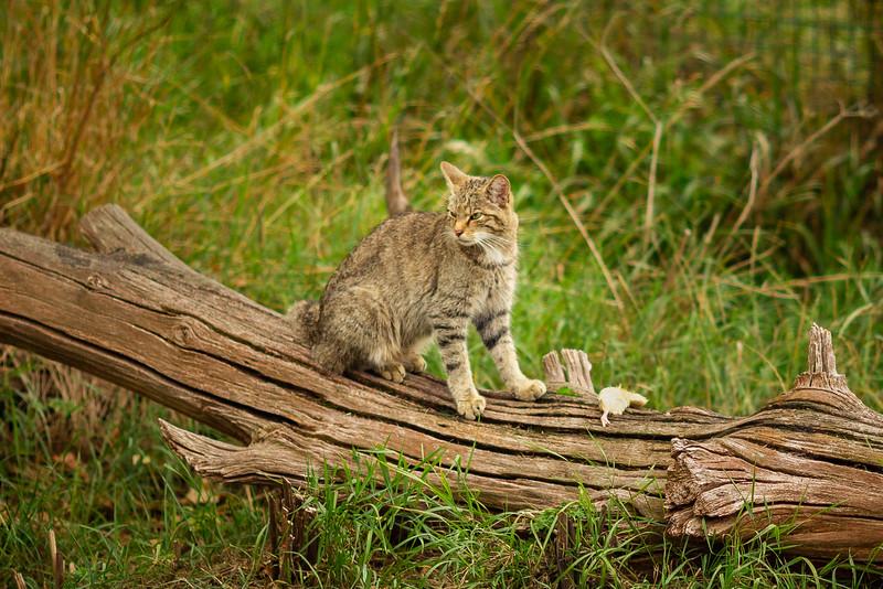 2020 - Scottish Wildcat