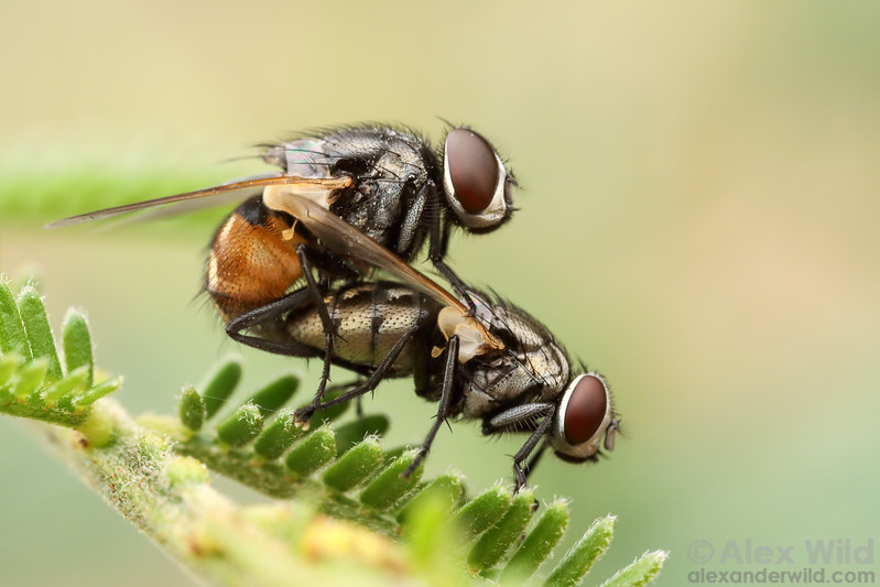 Musca vetustissima - Australian Bush Fly