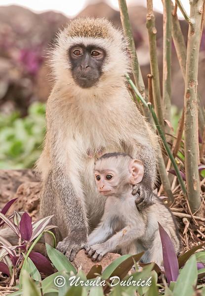 Vervet Monkey and her baby - Kenya