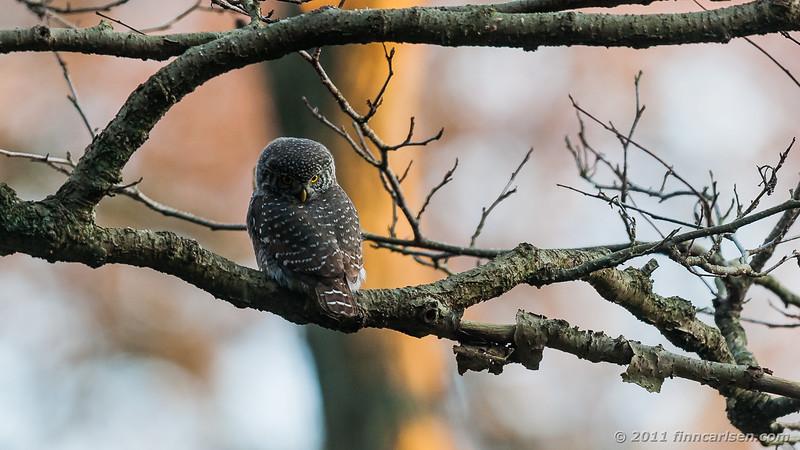 Spurveugle - Glaucidium passerinum - Pygmy owl