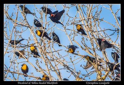 Blackbirds & Starlings