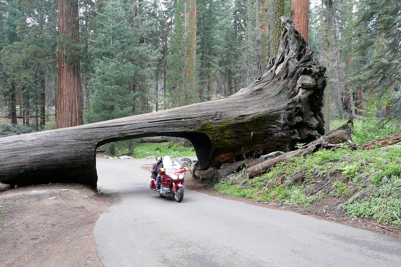 Tunnel Log. Sequoia NP