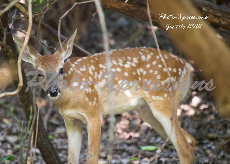 fawn deer-2881.jpg