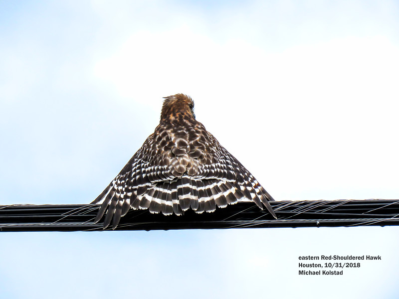 IMG_1738 3T eastern Red-Shouldered Hawk Houston.jpg