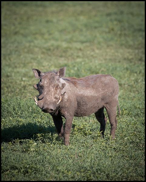 Warthog, Ngorongoro Conservation Area