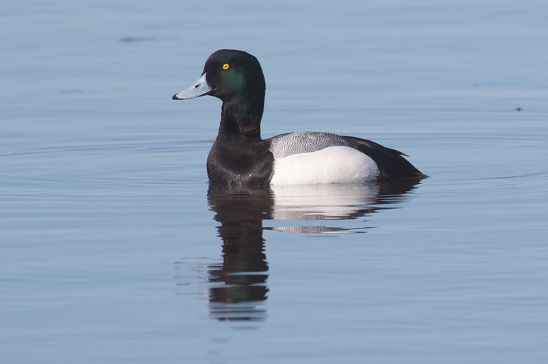 Greater Scaup Park Pt bayside Duluth MN IMG_8995.jpg
