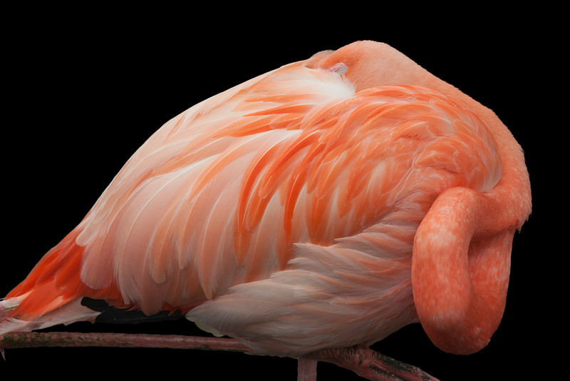 Pink Flamingo on Black– Phoenicopterus ruber