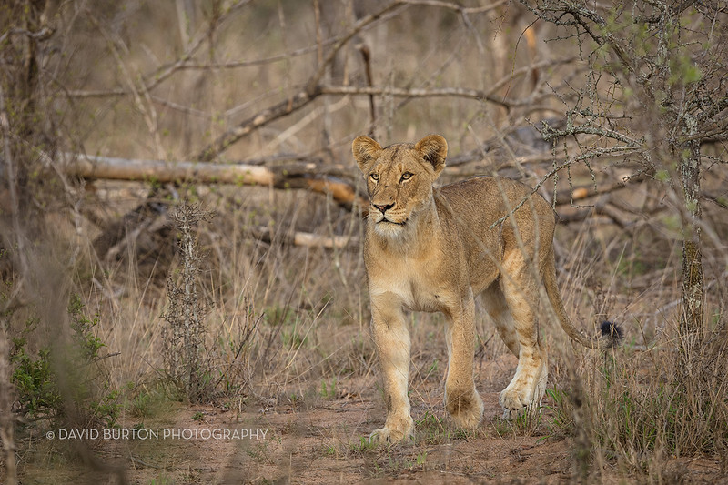 Lion_3027cc2fx-web.jpg