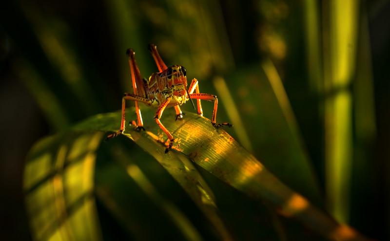 Grasshoppers 86.jpg