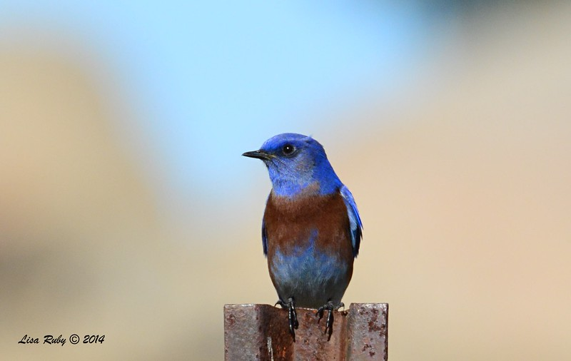 Western Bluebird - 12/7/2014 - Ramona Grasslands Preserve