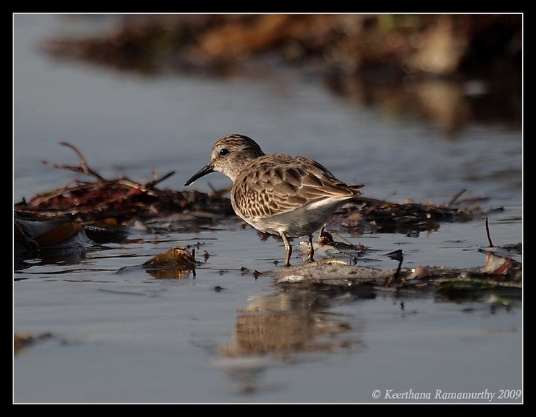 Least Sandpiper, Robb Field, San Diego River, San Diego County, California, September 2009