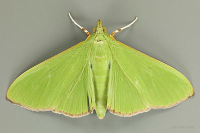 Crambid Snout Moths