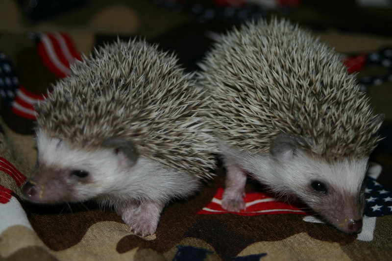 Litter - SCSI and Orianna (02/03/2005)  Litter - SCSI and Orianna (02/03/2005)  Filename reference: 20050306-235845-HAH-Hedgehog_Babies
