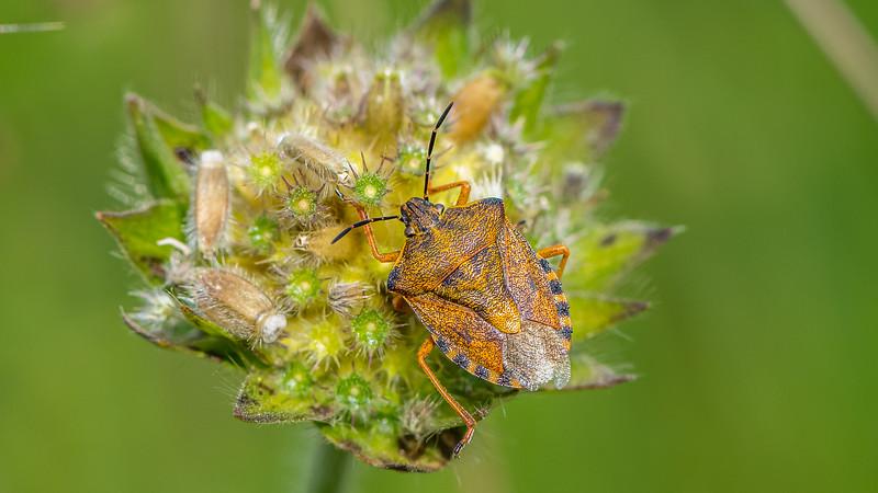 Black-shouldered Shieldbug