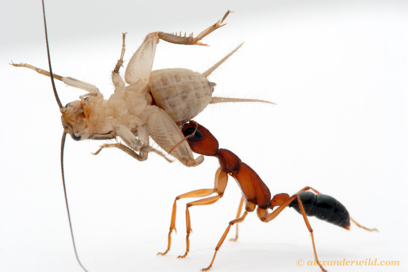 A worker Harpegnathos saltator carries a paralyzed cricket back to her laboratory nest.  The weight of the cricket is several times that of the ant.  Laboratory colony at Arizona State University