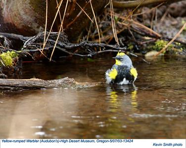 YellowRumpedWarbler13424.jpg