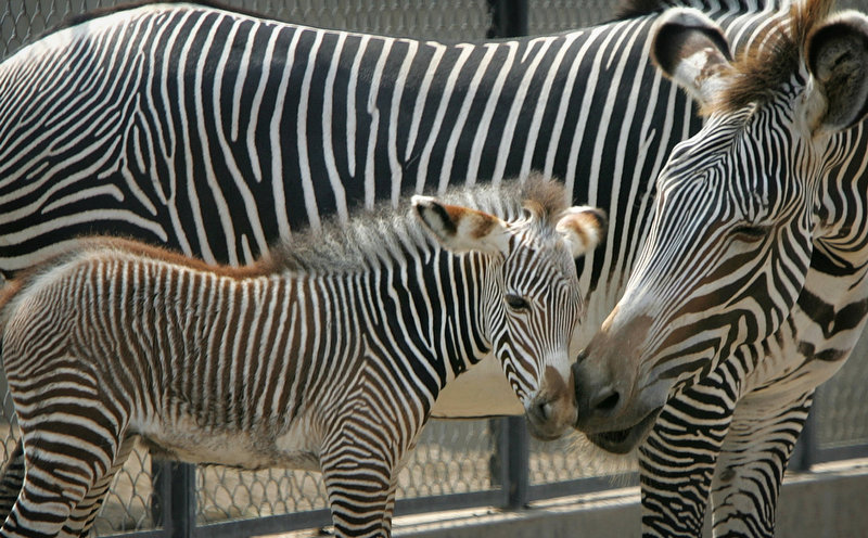 Description of . A 3-day-old baby zebra stands with his mother Yoko at a zoo in Lima, Peru. The baby was the second zebra born in captivity in Peru. (AP Photo/Martin Mejia)