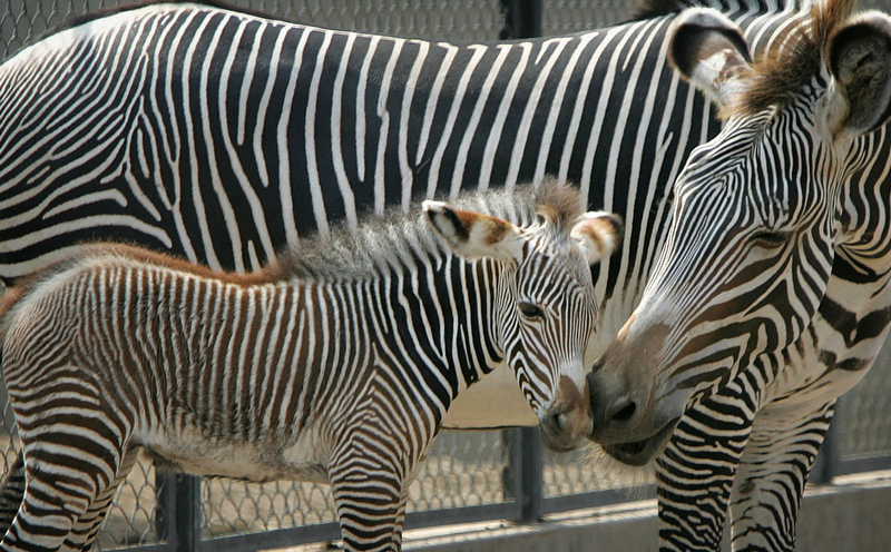 . A 3-day-old baby zebra stands with his mother Yoko at a zoo in Lima, Peru. The baby was the second zebra born in captivity in Peru. (AP Photo/Martin Mejia)