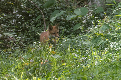 2018-06-02 Foxes Caryls Yard