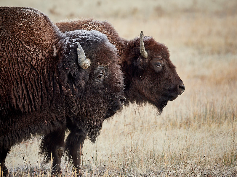 Mr and Mrs Bison - she was  not having any nonsense from him!